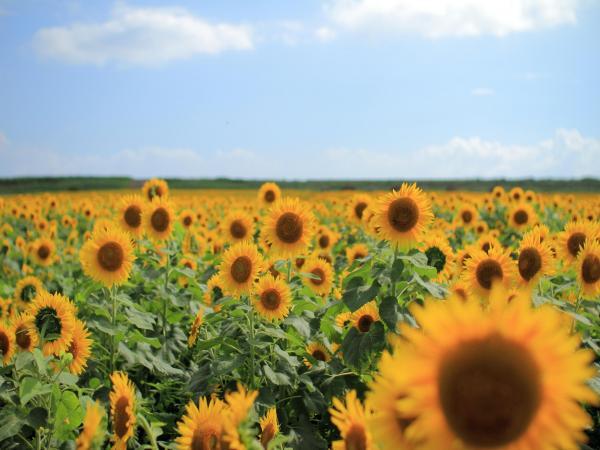 yanagawa sunflower garden